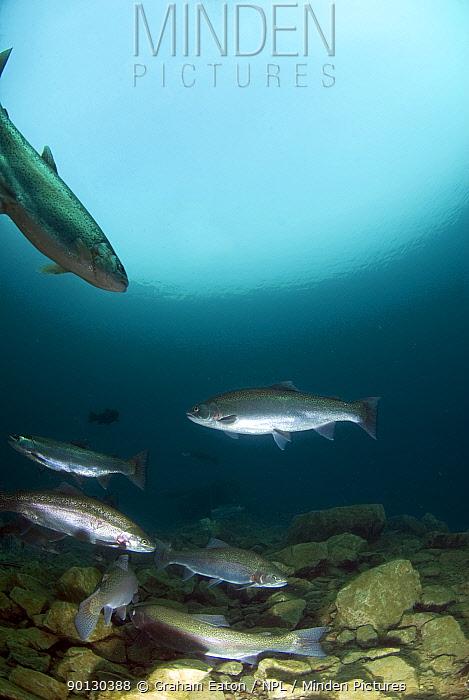 Rainbow Trout shoal (Oncorhynchus mykiss) in a lake, Lancashire, UK, February  -  Graham Eaton/ npl
