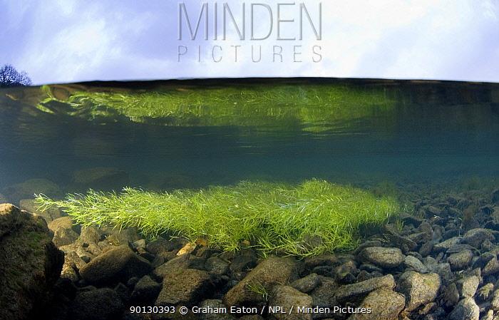 A split-level view of Green Algae (Chlorophyceae) in a shallow river, Snowdonia NP, Gwynedd, Wales, January  -  Graham Eaton/ npl