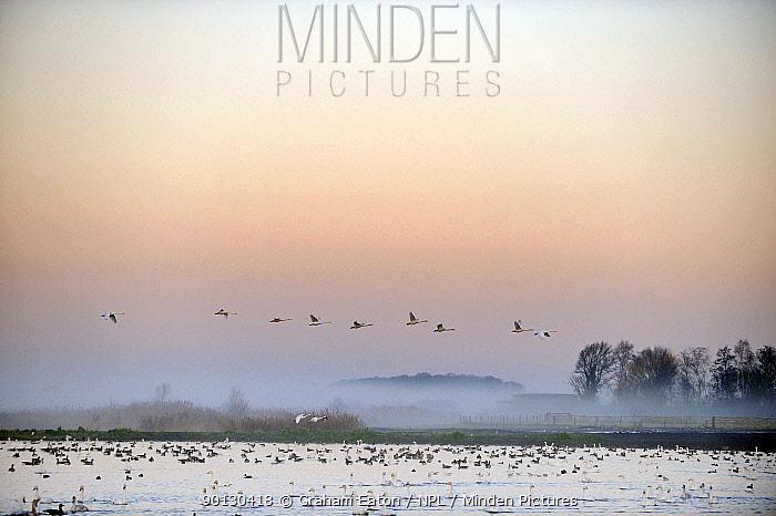 Flock of Whooper Swans (Cygnus cygnus) in flight over wetland habitat of Martin Mere WWT reserve, December  -  Graham Eaton/ npl
