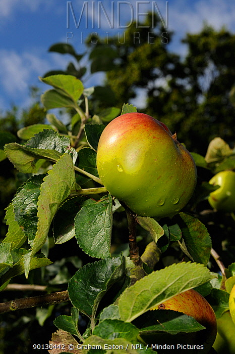 Granny Smiths Apple (Malus domesticus) on tree, in an orchard, Wirral, England, UK August 2009  -  Graham Eaton/ npl