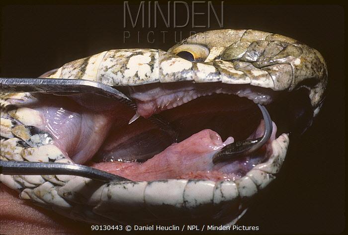 Montpellier snake (Malpolon monspessulanus) close up, with jaw open using metal instrument, to show venomous fangs Captive, Morocco  -  Daniel Heuclin/ npl