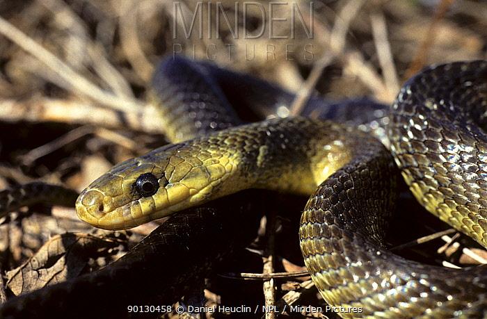 Aesculapian snake (Elaphe longissima) head portrait, Poitou, France, Europe Controlled conditions  -  Daniel Heuclin/ npl