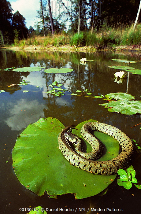 European grass snake (Natrix natrix) basking on a Lily pad, on pond France, Europe Controlled conditions  -  Daniel Heuclin/ npl