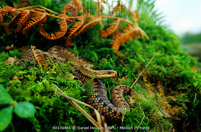 Common, Cross adder (Vipera berus) female emerging from ground cover, with tongue exposed Finland, Scandinavia Controlled conditions  -  Daniel Heuclin/ npl
