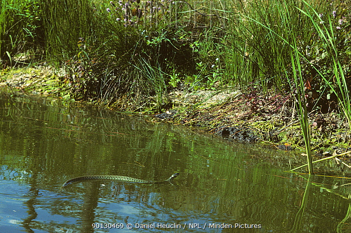 European grass snake (Natrix natrix) adult swimming across river France, Europe Controlled conditions  -  Daniel Heuclin/ npl