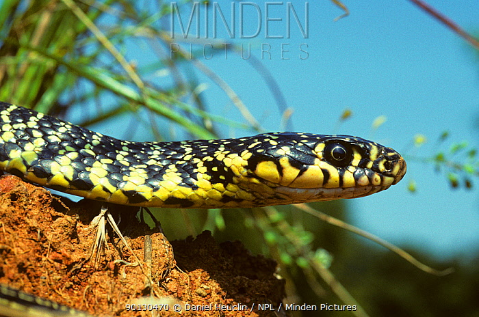 Western whipsnake (Hierophis, Coluber viridiflavus) head portrait, in profile France, Europe Controlled conditions  -  Daniel Heuclin/ npl