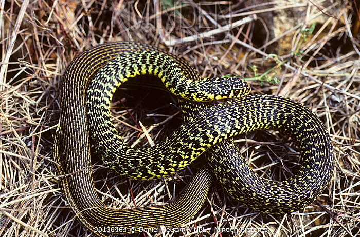 Western whipsnake (Hierophis, Coluber viridiflavus) coiled up on dead grass France, Europe Controlled conditions  -  Daniel Heuclin/ npl