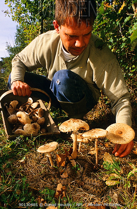 Man picking mushrooms with Asp viper (Vipera aspis) nearby, France, Europe Controlled conditions  -  Daniel Heuclin/ npl