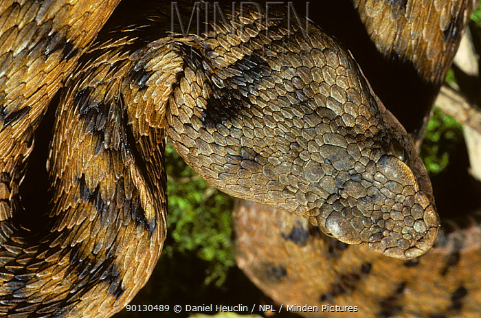 Asp viper (Vipera aspis) head portrait from above France, Europe Controlled conditions  -  Daniel Heuclin/ npl