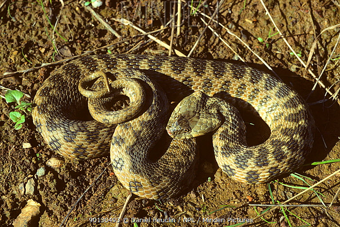 Viperine snake (Natrix maura) coiled up France, Europe Controlled conditions  -  Daniel Heuclin/ npl