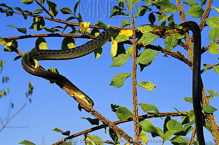 Aesculapian snake (Elaphe longissima) making its way down a tree, Poitou, France, Europe Controlled conditions  -  Daniel Heuclin/ npl