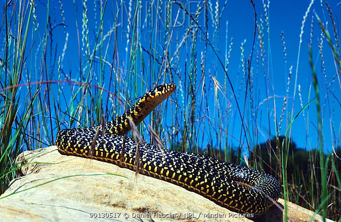 Western whipsnake (Hierophis, Coluber viridiflavus)  -  Daniel Heuclin/ npl