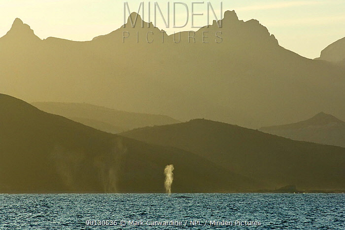 Blue whale (Balaenoptera musculus) blowing, spouting, Endangered species, Sea of Cortez, Baja California, Mexico  -  Mark Carwardine/ npl
