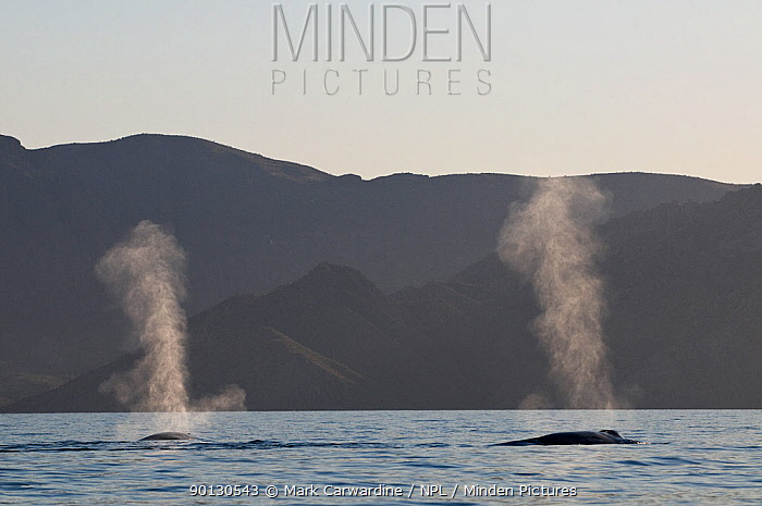 Blue whales (Balaenoptera musculus) blowing, spouting at surface, Endangered species, Sea of Cortez, Baja California, Mexico  -  Mark Carwardine/ npl