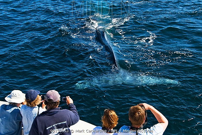 Blue whale (Balaenoptera musculus) diving close to boat, watched by whale watchers, Endangered species, Sea of Cortez, Baja California, Mexico  -  Mark Carwardine/ npl