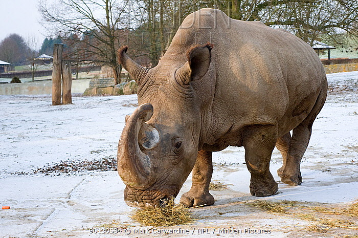 Northern white rhinoceros (Ceratotherium simum cottoni) feeding in enclosure at Dvur Kralove Zoo, Czech Republic, the day before departure, Dec 2009 Extinct in the wild and only eight left in captivity, critically endangered Part of a rescue operation to move four northern white rhinos from Dvur Kralove Zoo, Czech Republic, to Ol Pejeta Conservancy, Kenya, in order to save the rarest animal in the world from extinction  -  Mark Carwardine/ npl