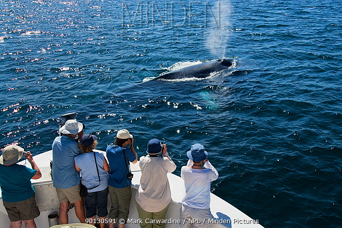 Blue whale (Balaenoptera musculus) spouting, watched by whale watchers from boat, Endangered species, Sea of Cortez, Baja California, Mexico  -  Mark Carwardine/ npl