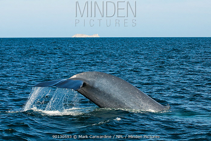 Blue whale (Balaenoptera musculus) fluking, diving,  -  Mark Carwardine/ npl