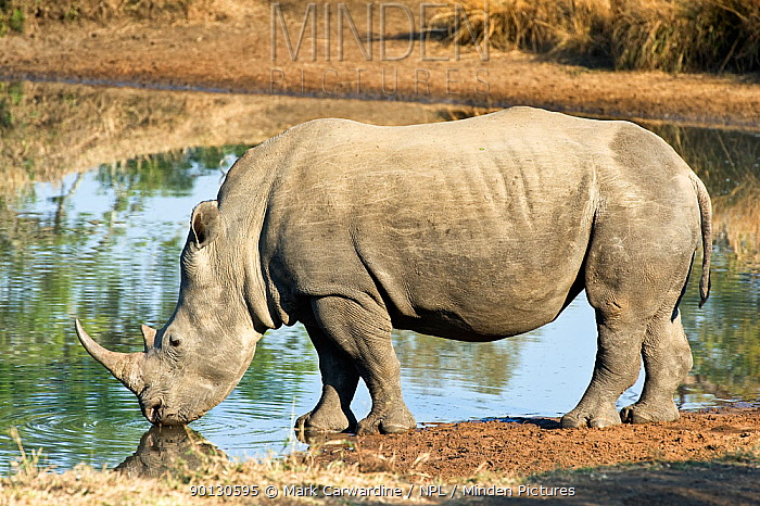 Southern white rhinoceros (Ceratotherium simum simum) drinking, Endangered species, Mkhaya Game Reserve, Swaziland  -  Mark Carwardine/ npl