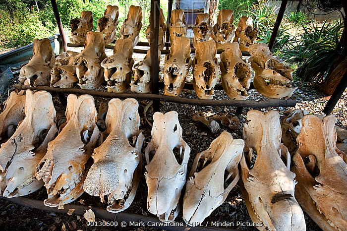 Southern white rhinoceros (Ceratotherium simum simum) skulls retrieved from animals killed by poachers, Endangered species, Mkhaya Game Reserve, Swaziland  -  Mark Carwardine/ npl