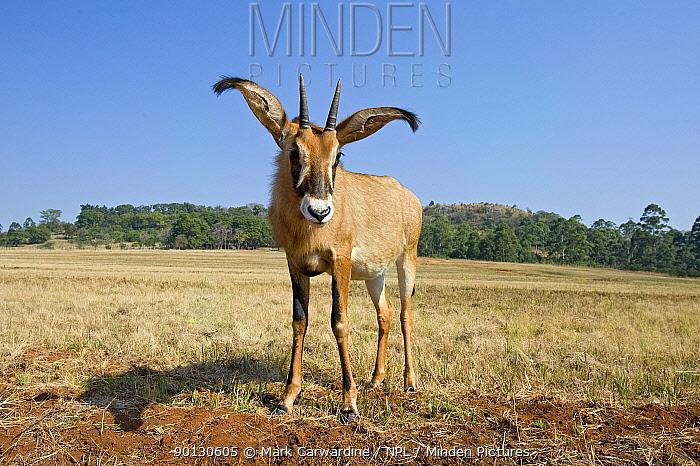 Roan antelope (Hippotragus equinus) Mlilwane Wildlife Sanctuary, Swaziland  -  Mark Carwardine/ npl