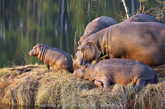 Hippopotamus (Hippopotamus amphibius) family group on river bank, Mlilwane Wildlife Sanctuary, Swaziland, Endangered, threatened species  -  Mark Carwardine/ npl