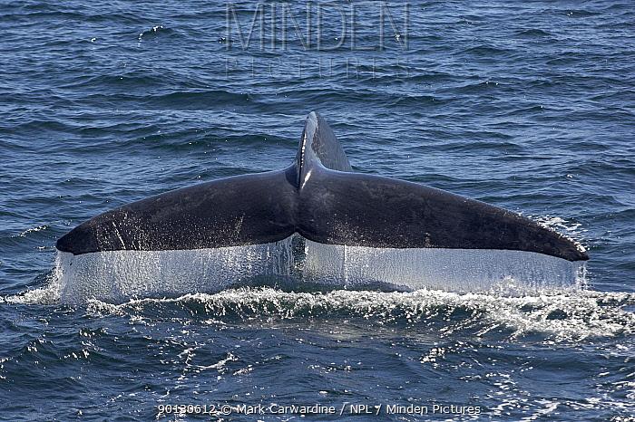 Blue whale (Balaenoptera musculus) fluking, diving, Endangered species, Sea of Cortez, Baja California, Mexico  -  Mark Carwardine/ npl