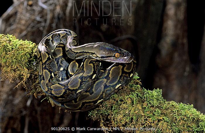 Reticulated python (Python reticulatus) captive, from SE Asia  -  Mark Carwardine/ npl