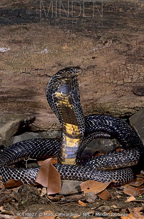 Monocled cobra (Naja kaouthia) with hood spread, captive, from grasslands of southeast Asia  -  Mark Carwardine/ npl