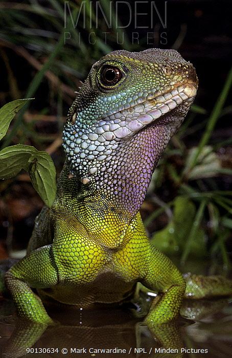 Chinese, Thailand water dragon (Physignathus cocincinus) captive, from SE Asia  -  Mark Carwardine/ npl