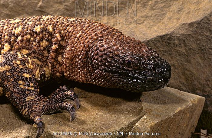 Mexican beaded lizard (Heloderma horridum) captive, from Central America  -  Mark Carwardine/ npl
