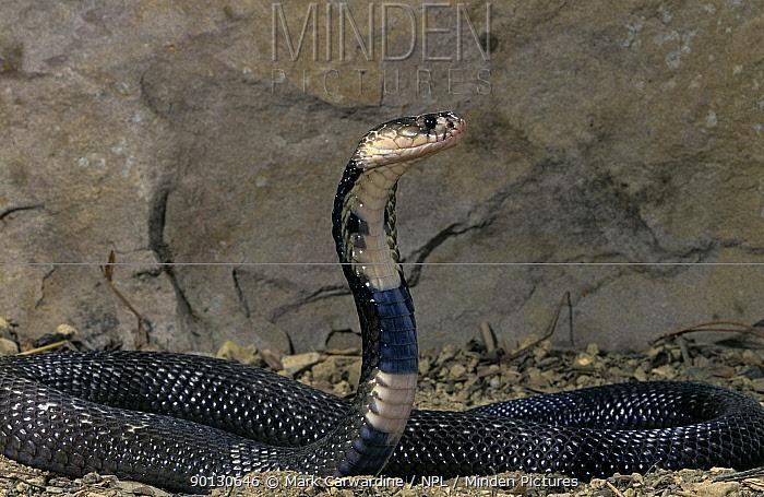 Monocled cobra (Naja kaouthia) captive, from grasslands of southeast Asia  -  Mark Carwardine/ npl