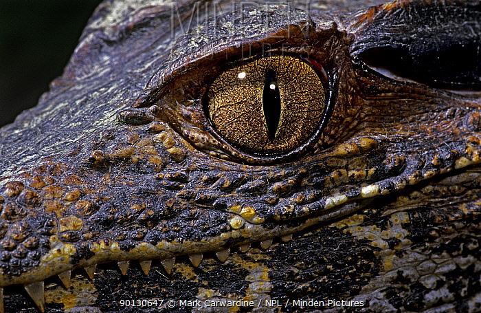 Dwarf caiman (Paleosuchus palpebrosus) juvenile, close-up of eye, captive, from South America  -  Mark Carwardine/ npl
