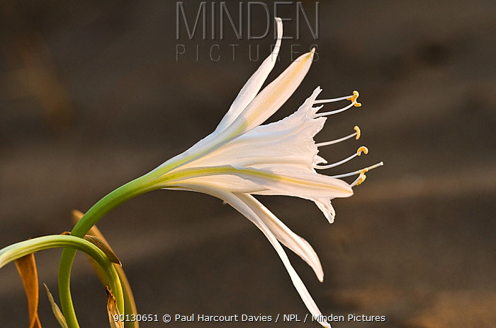 Sea Daffodil, Sea Lily (Pancratium maritimum) flowering, it remains open overnight, when it is pollinated by the Convolvulus Hawkmoth (Herse convolvuli) Italy, Europe  -  Paul Harcourt Davies/ npl