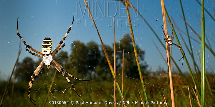 Orb Web Spider (Argiope bruennichi) female hanging in web, with male waiting cautiously at the edge Italy, Europe  -  Paul Harcourt Davies/ npl