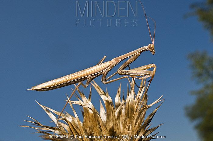 European Praying Mantis (Mantis religiosa)  -  Paul Harcourt Davies/ npl
