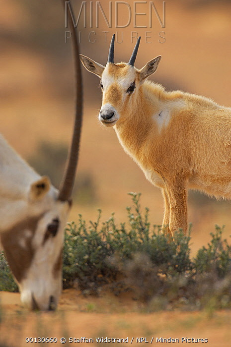 Arabian oryx (Oryx leucoryx) adult grazing with juvenile in background, Dubai Desert Conservation Reserve, Dubai, UAE, Endangered species  -  Staffan Widstrand/ npl