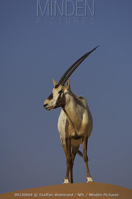 Arabian Oryx (Oryx leucoryx) standing on sand dune, Dubai Desert Conservation Reserve, Dubai, Endangered species  -  Staffan Widstrand/ npl