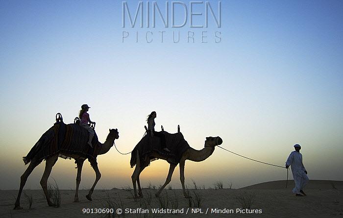 Silhouette of people riding Dromedary camels (Camelus dromedarius) at dawn, Dubai, United Arab Emirates, March 2007  -  Staffan Widstrand/ npl