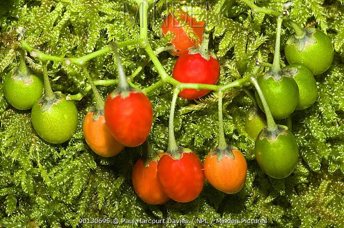 Bittersweet, Woody nightshade (Solanum dulcamara) with fruits of varying colours Italy, Europe  -  Paul Harcourt Davies/ npl