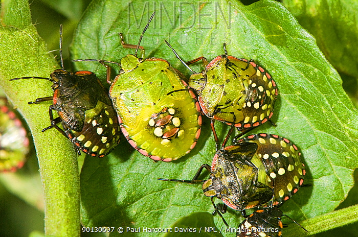 Shield, Southern Green Stink Bugs (Nezara viridula) shown here in various nymphal stages They can cause damage to peas, potatoes and tomatoes Italy, Europe  -  Paul Harcourt Davies/ npl