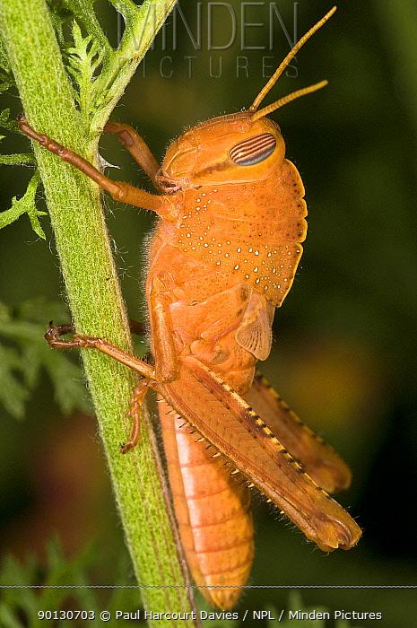 Egyptian Locust (Anacridium aegyptium) immature adult in garden at Podere Montecucco, Italy, Europe  -  Paul Harcourt Davies/ npl