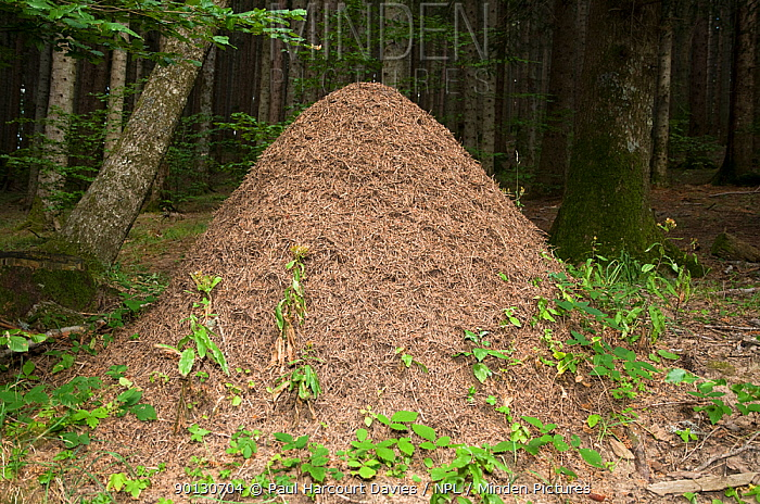 Wood Ant (Formica rufa) nest made from pine debris in mountain woodland Wood ants are protected by law in Italy for their role in destroying forest pests Italy, Europe  -  Paul Harcourt Davies/ npl
