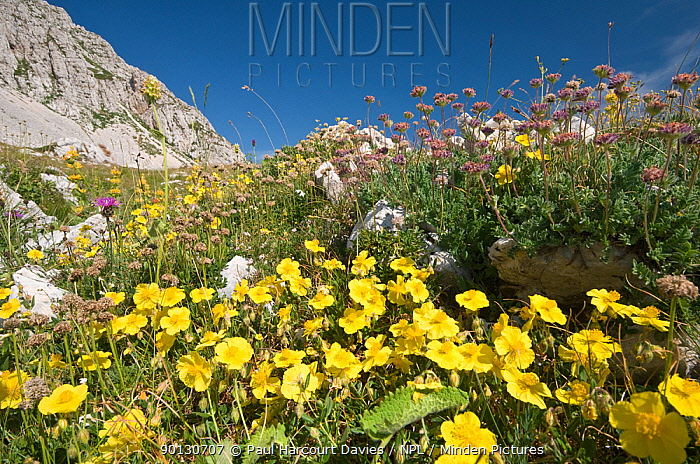 Common Rockrose (Helianthemum nummularium) flowering in the foreground of a display of alpine flowers on Mt Terminillo, Apennine mountains, Italy, Europe  -  Paul Harcourt Davies/ npl