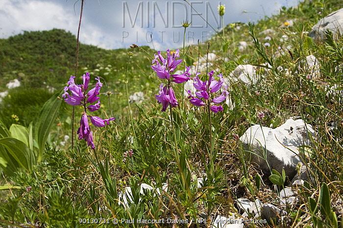 Tufted Milkwort (Polygala comosa) flowering in alpine mountain meadow at 200m Mt Terminillo, Lazio, Apennine monutains, Italy, Europe  -  Paul Harcourt Davies/ npl