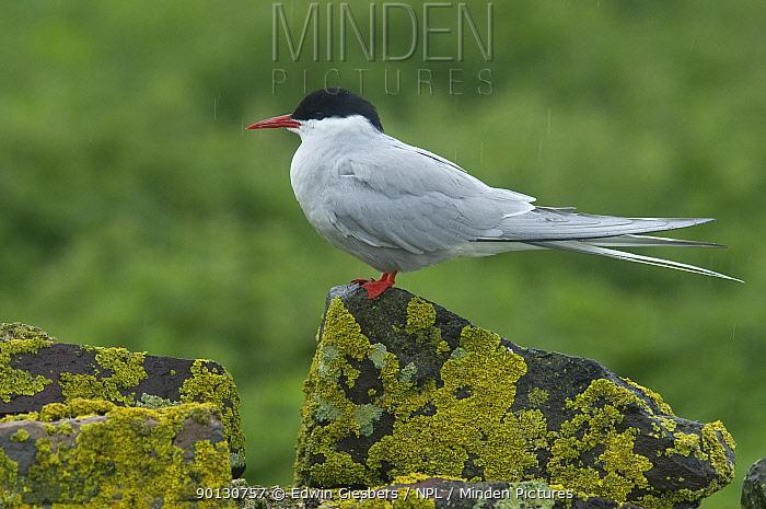 Arctic tern (Sterna paradisaea) perched on rock, Farne Islands, Northumberland, UK, June  -  Edwin Giesbers/ npl