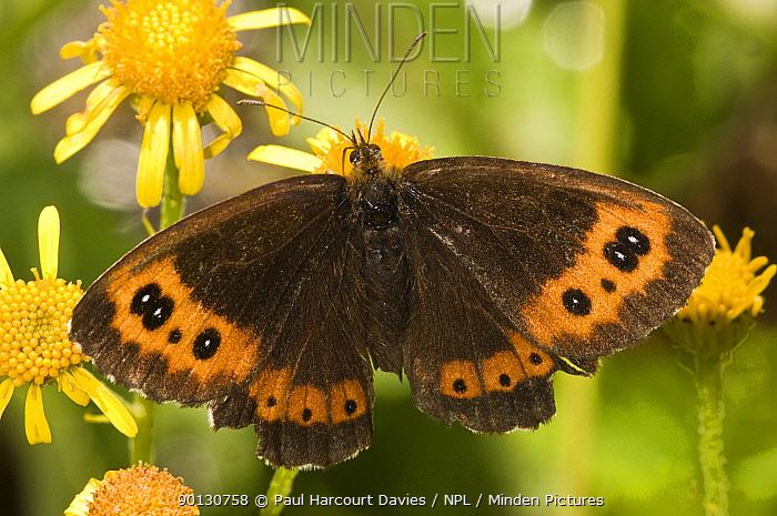 Arran Brown butterfly (Erebia ligea) feeding on nectar rich flowering plants in Alpine meadow, Apennine mountains, Italy, Europe  -  Paul Harcourt Davies/ npl