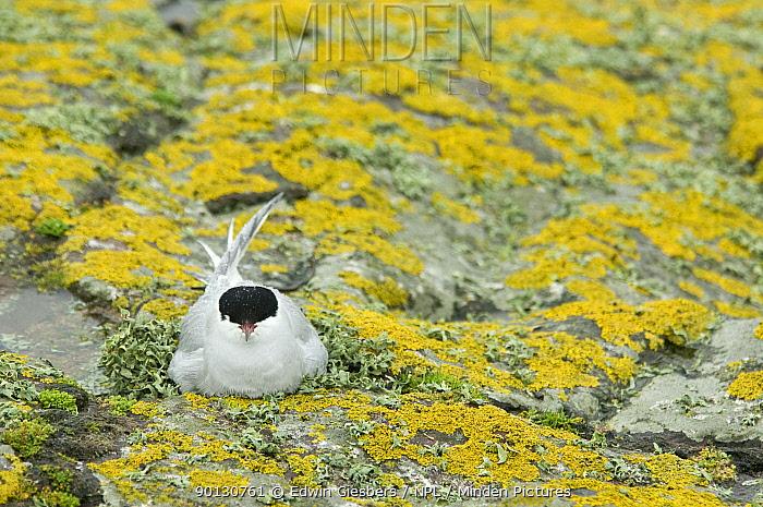 Arctic tern (Sterna paradisaea) nesting on lichen-covered rock, Farne Islands, Northumberland, UK, June  -  Edwin Giesbers/ npl