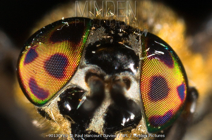 Deer, Horsefly (Chrysops relictus) close-up of characteristically reflective eyes, Montecucco, Italy, Europe  -  Paul Harcourt Davies/ npl