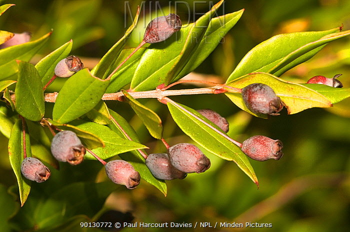 Myrtle branch (Myrtus communis) close-up of cluster of scented berries in autumn Italy, Europe  -  Paul Harcourt Davies/ npl